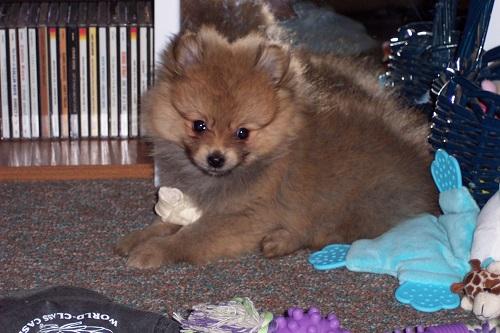 Cody puppy